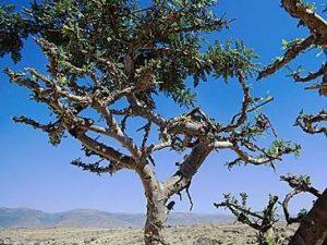 フラキンセンスの木